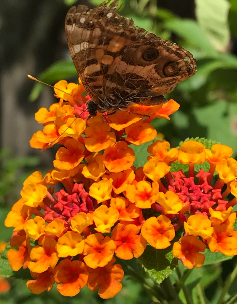 brown butterfly sitting on an orange lantana blossom